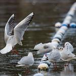 Black headed Gulls on a frozen lake