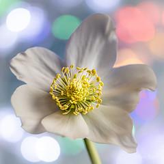 Macro Mondays - Redux 2019 (Magda Banach) Tags: hellebore nikond850 pastel redux2019 blue colors delicacy delicate flora flower green macro macromondays nature plants reflection white winterflowers yellow