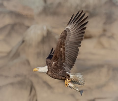 Eagle against the rocks (tresed47) Tags: 2019 201912dec 20191211conowingobirds birds canon7dmkii conowingo content december eagle fall flightshot folder general maryland peterscamera petersphotos places season takenby us