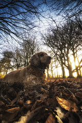 Fudge (Anthony_Murray) Tags: cocker spaniel fudge dog forest leaves winter trees branches sky