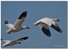 Snow Goose (Betty Vlasiu) Tags: snow goose chen caerulescens anser bird nature wildlife chincoteague island