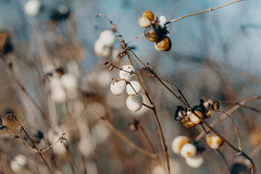 Details of the winter (skp-mm) Tags: 135mm blumenundpflanzen frucht ilce7rm4 nature sony sonyalpha7riv winter a7riv α7riv fellbach badenwürttemberg deutschland