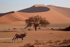 The Oryx & The Parabolic Dune (peterkelly) Tags: canon 6d digital africa intrepidtravel capetowntovicfalls namibia namibnaukluftreserve namibdesert sossusvlei dune oryx sandy sand tree parabolic pan walking ridge