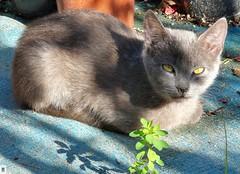 Gatito gris. (In Dulce Jubilo) Tags: colors colores cat gato andalucia andalusia animal animals felino feline ojos eyes verde green espagne españa spanien spain frio cool