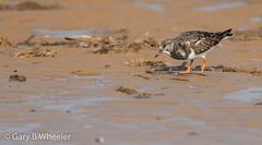 Turnstone (Ponty Birder) Tags: g b wheeler garywheeler pontybirder birds waders rspb england bird arenariainterpres inexplore uk