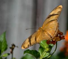 Dryas iulia (1) (ACEZandEIGHTZ) Tags: orangejulia nikond3200 flyinginsect closeup macro nature nectar flowers lantana bokeh wings winged butterfly