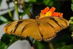 Dryas iulia (3) (ACEZandEIGHTZ) Tags: orangejulia nikond3200 dryasiulia flyinginsect macro closeup nature butterfly wings winged orange flowers lantana bokeh nectaring