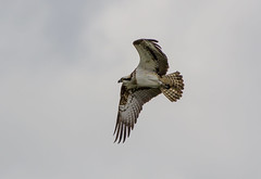 Photo of 132 Flying Osprey