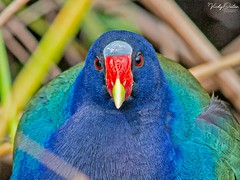 🇺🇸 Purple gallinule EG 8664 I was told it's rare to see this bird in the Everglades, USA (vickyoutenphoto) Tags: vickyouten purplegallinule wildlife nature nikon nikond7200 nikkor55300mm evergladesnationalpark florida usa