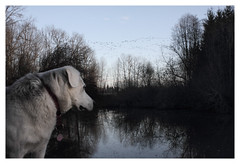 Birdwatching (Robert Drozda) Tags: portland oregon vanport mudslough canadagoose dog musky wetland columbiasloughwatershed abandonedtownsite labrusky labhusky beinghere drozda littledoglaughednoiret