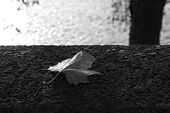 Automne (just.Luc) Tags: automne autumn fall herfst herbst leaf feuille blad parijs parigi paris îledefrance france frankrijk frankreich francia frança bn nb zw monochroom monotone monochrome bw