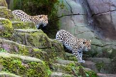 Amur Leopard cubs - Colchester Zoo (stu norris) Tags: amurleopardcubs colchesterzoo amurleopard leopard bigcat nature wildlife cute coth5