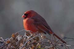 Northern Cardinal (jt893x) Tags: 150600mm bird cardinal cardinaliscardinalis d500 jt893x male nikon nikond500 northerncardinal sigma sigma150600mmf563dgoshsms songbird