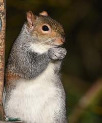 Squirrel (Deanne Wildsmith) Tags: wolseleynaturecentre staffordshire squirrel animal rodent earthnaturelife