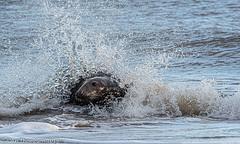 Splash (Mister-Tee) Tags: winterton wintertononsea norfolk seal greyseal juvenilegreyseal marine sea coast nikon nikond750 newborn