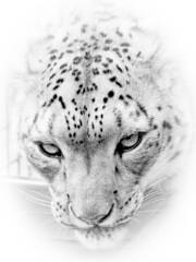 Those pierceing eyes..... (jopowney) Tags: bigcatsanctuary naturesfinest natureinfrontofthelens amazing dangerous watching beautyatitsbest bigcat bigcatsaboutthehouse dontcomeanycloser photographyday wildlife leopard snowleopard