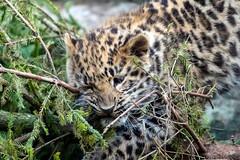 Amur Leopard cub - Colchester Zoo (stu norris) Tags: amurleopardcub colchesterzoo amurleopard bigcat cute coth5 nature wildlife leopard