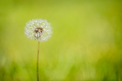 Once upon a time (Fotos4RR) Tags: nopeople photography nature flower outdoors plant closeup day dandelion beautyinnature flowerhead dandelionseed focusonforeground softness freshness fragility macro summer bokeh blume löwenzahn pusteblume