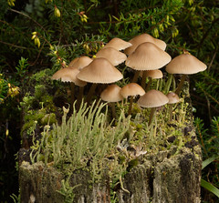 DSC04197A (simonbalk523) Tags: toadstool fungi woodland woods dead tree sony tamron macro photography warnham nature reserve horsham plants mushroom