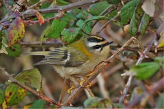 Firecrest (Regulus ignicapilla)  at Dungeness RSPB (GrahamParryWildlife) Tags: firecrest dungeness rspb kent uk tiny small grahamparrywildlife crest yellow orange sigma 150600 sport canon 7d mk2 bird tree food macro animal outdoor songbird viewing photo flickr add flower plant