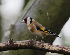 Common Goldfinch (themadbirdlady) Tags: vanefarmrspbnt1599 passeriformes fringillidae cardueliscarduelis common goldfinch