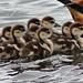 Egyptian Goose seven goslings 05-20191229