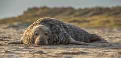 It's a Hard Life (Mister-Tee) Tags: winterton wintertononsea norfolk seal greyseal juvenilegreyseal marine sea coast nikon nikond750 newborn