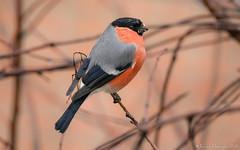 Nouvelle coupe! (DorianHunt) Tags: birds bokeh bullfinch servion backyard switzerland december 2019 nikond500 sigma 150600mm