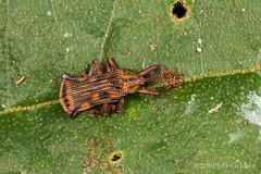 Leaf Beetle (jgruber111) Tags: cassidinae chrysomelidae coleoptera insect macro entomology leafbeetle ecolodgeitororó