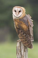 Barny (ayres_leigh) Tags: bird crc vittoria ontario raptor owl nature post canon 300mm repost topazai