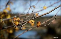 Adiós al otoño. (P e p a) Tags: otoño colores naturaleza plantas árboles autumn nature trees colors