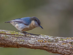 Pygmy Nuthatch (gilamonster8) Tags: bluebird flickrexplore natuesbest pygmynuthatch canon flickr animal blue wildlife sigma perched feather bird naturetop bokeh arizona eos 7dmarkii tucson ngc