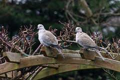 Collared doves (20191227 1355) (Graham Dash) Tags: collareddoves birds streptopeliadecaocto 2019pad