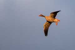 Greylag Goose (annjane3) Tags: duck flight sunset golden hour bird vogel vögel ente greylag goose