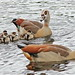 Egyptian Goose pair with goslings 03-20191229