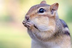 chipmunk (annedphotography1) Tags: chipmunk rodent animal animalworld canada closeup cute small fur summer summerfun