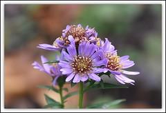 Asters (Manoo Mistry) Tags: asters wildflowers flowers parks garden tamron18270mmzoomlens nikond5500 macro bokeh