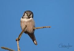 Chouette épervière - Northern Hawk owl (Charlaine Jean) Tags: wildlife wild oneanimal noperson day bluesky avian nature bird owl