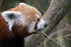 IMG_0114 (neatnessdotcom) Tags: central park zoo animal wcs manhattan new york city tamron 18270mm f3563 di ii vc pzd canon eos rebel sl3 digital slr camera 250d red panda ailurus fulgens