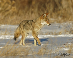 Beautiful, Healthy Coyote (dcstep) Tags: cherrycreekstatepark colorado coyote westerncoyote canine wildcanine hunting snow sonya9 fe600mmf4gmoss fe14xteleconverter thickcoat amber dxophotolab nature naturesanctuary natureurban wildlife wildlifesanctuary wildanimal fur tan dsc3646dxo healthy