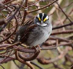 White throated Sparrow  Bruant à gorge blanche (michel426) Tags: bird oiseau whitethroatedsparrow bruantàgorgeblanche spring printemps forest forêt summer été nests niche