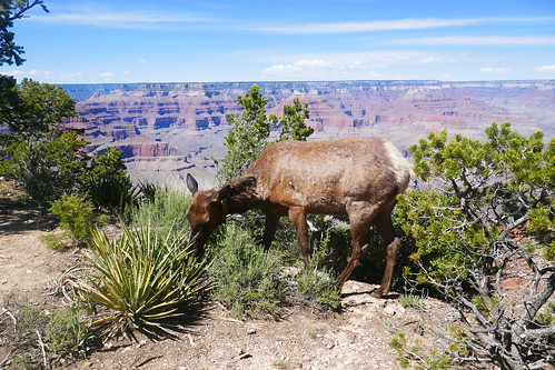 Grand Canyon South RIm - Wapiti (Cerf-Mulet)