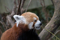 IMG_0107 (neatnessdotcom) Tags: central park zoo animal wcs manhattan new york city tamron 18270mm f3563 di ii vc pzd canon eos rebel sl3 digital slr camera 250d red panda ailurus fulgens