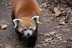 IMG_0085 (neatnessdotcom) Tags: central park zoo animal wcs manhattan new york city tamron 18270mm f3563 di ii vc pzd canon eos rebel sl3 digital slr camera 250d red panda ailurus fulgens