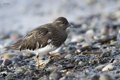 Black Turnstone (featherweight2009) Tags: blackturnstone arenariamelanocephala turnstones sandpipers shorebirds birds