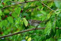 White-throated Sparrow by Jackie B. Elmore 10-30-2019 Lincoln Co. KY (jackiebelmore) Tags: zonotrichiaalbicollis whitethroatedsparrow sparrow lincolnco kentucky nikon850 tamronsp150600f563 jackiebelmore
