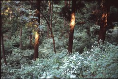 (✞bens▲n) Tags: contax g2 velvia 100f carl zeiss 45mm f2 film analogue slide positive trees light flowers japan nagano
