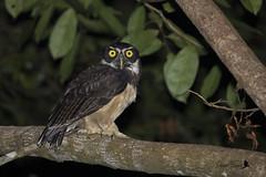 Chouette à lunettes - Pulsatrix perspicillata - Spectacled Owl (denisfaure973) Tags: chouette lunettes pulsatrix perspicillata spectacled owl guyane française