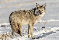 Coyote in the wild (Diggerthedog99) Tags: canon fourpaws fur winter nature wild coyote