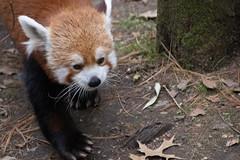IMG_0038 (neatnessdotcom) Tags: central park zoo animal wcs manhattan new york city tamron 18270mm f3563 di ii vc pzd canon eos rebel sl3 digital slr camera 250d red panda ailurus fulgens